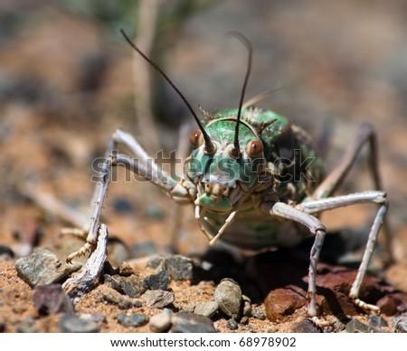 katydid - stock photo