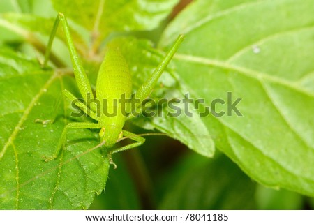 katydid on a leaf - stock photo