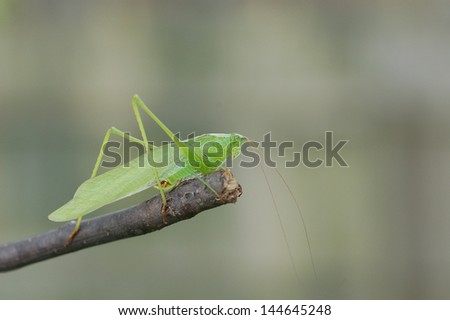 Katydid with Copy Space - stock photo
