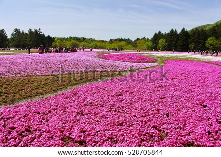 KAWAGUCHIKO, JAPAN - MAY 01, 2016 : Shibazakura Festival with the field of pink moss of Sakura or cherry blossom, Yamanashi, Kawaguchiko, Japan at sunny day, blurred and soft focus
