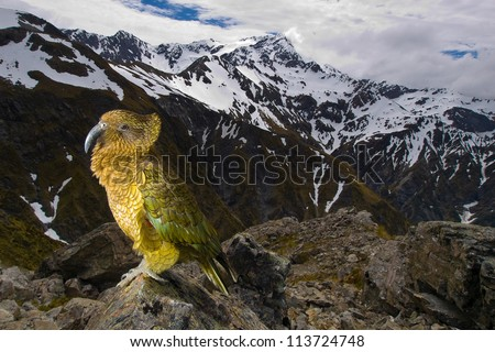 Kea Mountain Parrot (nestor notabilis) Avalanche Peak / Arthur's Pass National Park - New Zealand I met this parrot 2000 meters above sea level in her natural habitat. - stock photo