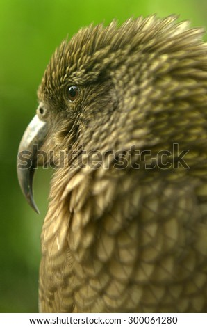 Kea parrot portrait  (Nestor notabilis).It's the world's only alpine parrot live in forested and alpine regions of the South Island of New Zealand. - stock photo