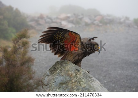 Kea with wings extended