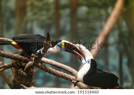 Keel Billed Toucan fighting  - stock photo