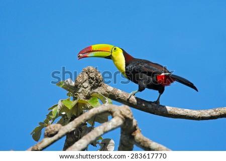 Keel-billed Toucan, Ramphastos sulfuratus, bird with big bill, with food in beak, in habitat with blue sky, Costa Rica - stock photo