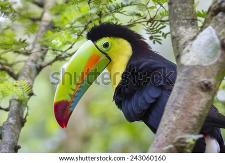 Keel-Billed Toucan (Ramphastos sulfuratus), Limon, Costa Rica. - stock photo