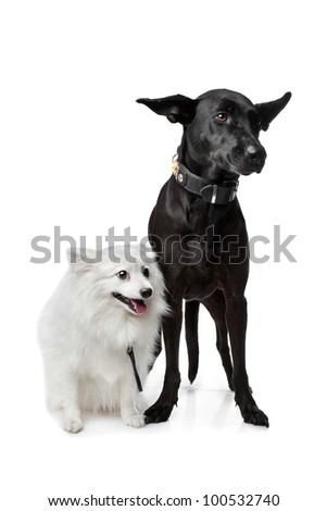 Keeshond (Dutch Barge Dog) and a black Shepherd mix in front of a white background - stock photo