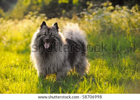Keeshound in the countryside Wolfsspitz
