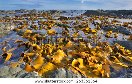 Kelp Bed at Low Tide - Coastline near Kaikoura, New Zealand - stock photo