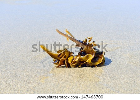 kelp on sandy beach and water - stock photo