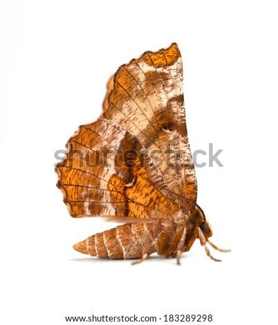 Kent's Geometer moth (Selenia kentaria) on a white background - stock photo