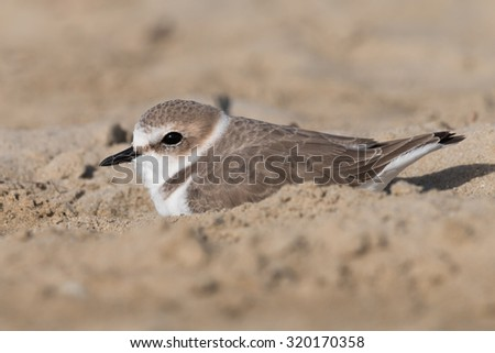 Kentish plover on the beach - stock photo