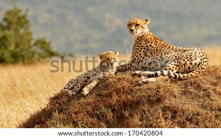 KENYA - AUGUST 11: African Cheetahs (Acinonyx jubatus) on the Masai Mara National Reserve safari in southwestern Kenya. - stock photo