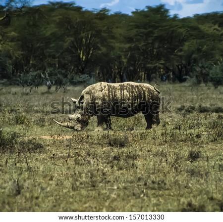Kenya, Nakuru National Park, black rhino (FILM SCAN) - stock photo