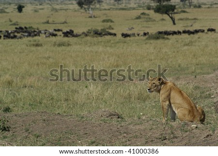 Kenyan Lioness - stock photo