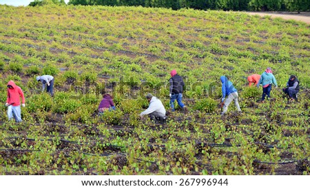 KERN COUNTY, CA - APR 8, 2015: Mexican farm workers begin early in the morning to weed and trim plants in this San Joaquin Valley vineyard.