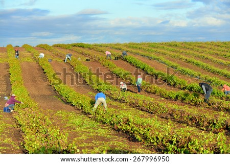 KERN COUNTY, CA - APR 8, 2015: Mexican farm workers begin early in the morning to weed and trim plants in this San Joaquin Valley vineyard. - stock photo