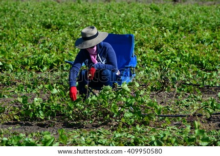 KERN COUNTY, CA - APRIL 23, 2016: An unidentified Mexican-American field hand sets up in the early morning hours for a day of pruning and culling grape plants in a San Joaquin Valley vineyard. - stock photo