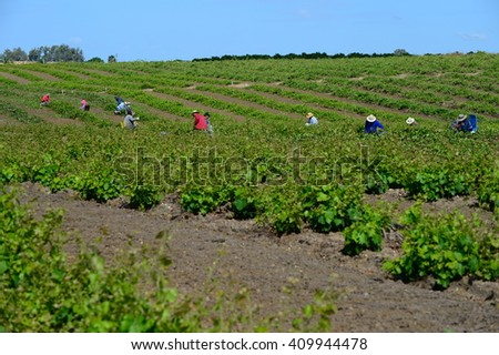 KERN COUNTY, CA - APRIL 23, 2016: Mexican-American farm workers set up in the early morning for a day of clipping, pruning and culling grape plants in a San Joaquin Valley vineyard. - stock photo