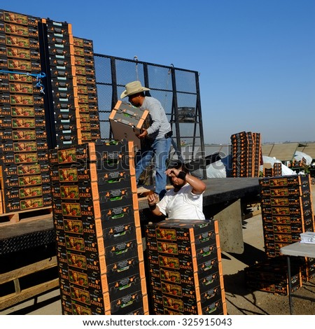 KERN COUNTY, CA -  OCTOBER 10, 2015: After packing table grapes in the field, farm workers load the boxes onto trucks for transporting to market.
