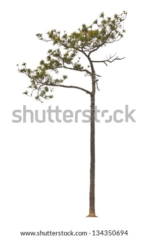 Kesiya pine tree, isolated on white background. - stock photo
