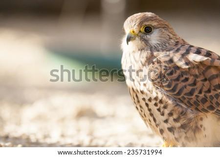 Kestrel bird of prey - stock photo