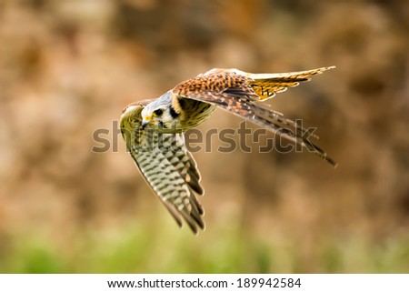 kestrel colorful flying - stock photo