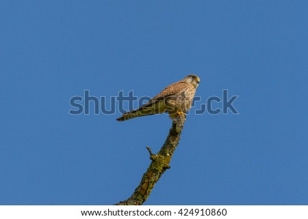 Kestrel (Falco tinnunculus) sitting on the top of a branch in blue sky