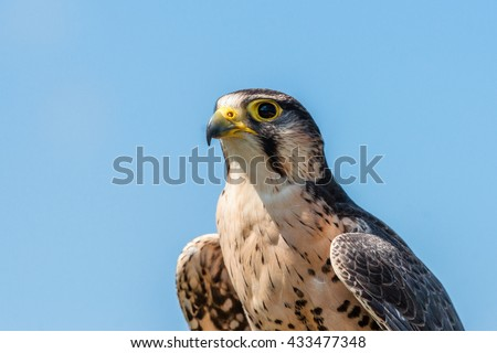 Kestrel falcon with yellow beak on blue background - stock photo