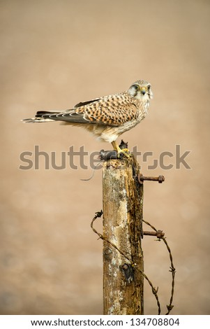 Kestrel perched on an old fence post in farmland in the English countryside.