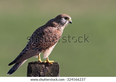Kestrel perched on old telegraph pole/Kestrel/Kestrel (Falco Tinnunculus)