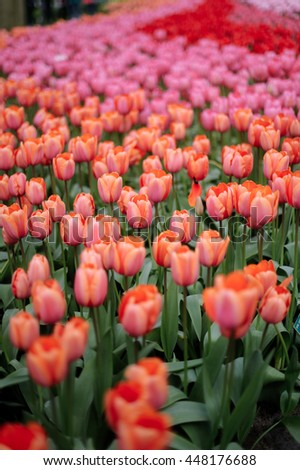 Keukenhof park in The Netherlands. Red and pink tulips. - stock photo