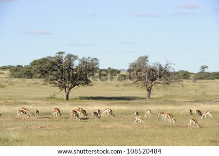 Kgalagadi transfrontier park, South Africa. A herd of springbuck (Antidorcus marsupialis) graze in the Nossob, a dry riverbed that flows only about once every hundred years - stock photo