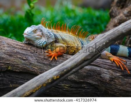 Khao Kheow Open Zoo, iguana on wood - stock photo