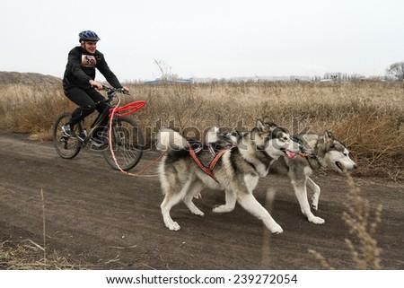 Kharkov, UKRAINE - November 15, 2014: Dmitriy Sheremet at bikejoring with two dogs Men's 3100 m at Sled dogs dry land race Autumn Cup - 2014 - stock photo