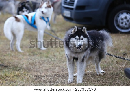 Kharkov, UKRAINE -?? November 15, 2014: Husky dog waiting for its heats at sled dogs dry land race Autumn Cup - 2014 - stock photo