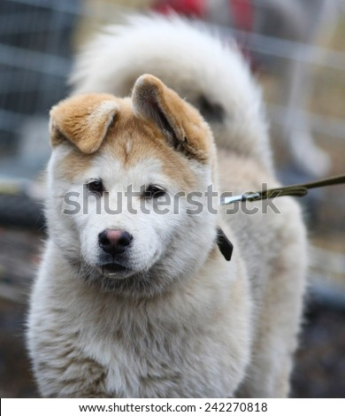 Kharkov, UKRAINE - November 15, 2014: Husky dog waiting for its heats at sled dogs dry land race Autumn Cup - 2014 - stock photo