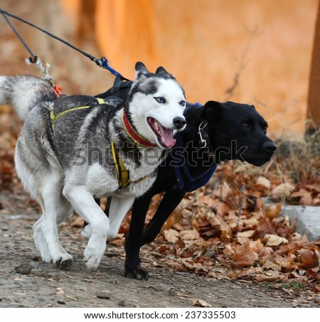 Kharkov, UKRAINE -?? November 15, 2014: Timur Shetilov at Bikejoring with two dogs Men's 3100 m at Sled dogs dry land race Autumn Cup - 2014