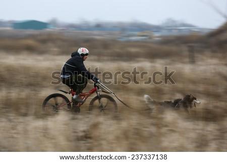 Kharkov, UKRAINE -?? November 15, 2014Unidentified at Sled dogs dry land race Autumn Cup - 2014 - stock photo