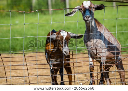 Kid goats by the fence on the farm.