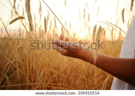 Kid hand wheat field - stock photo
