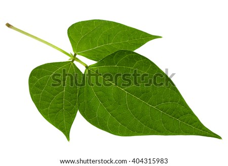 Kidney bean closeup leaf isolated on white background
