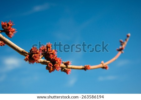 kidney blossoms on a branch against the blue sky - stock photo