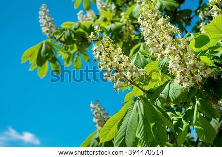 Kiev chestnuts in bloom - stock photo