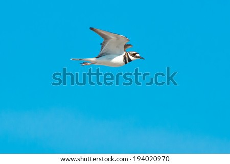 Killdeer flying across the sky. - stock photo