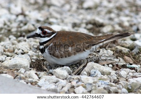 Killdeer nesting eggs