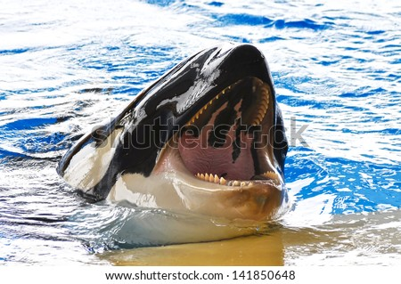 Killer whale - stock photo