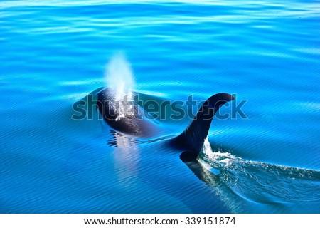 Killer Whale Blow - stock photo