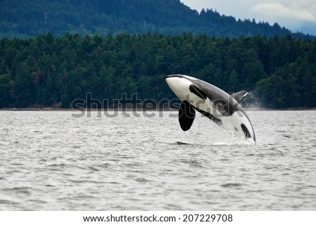 Killer Whale Breaching Near Canadian Coast - stock photo