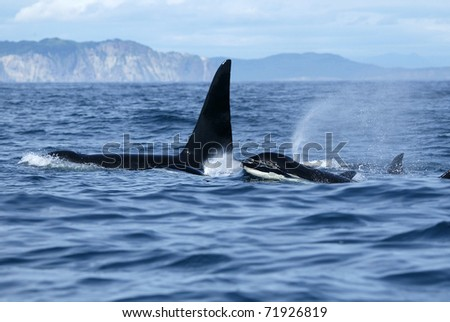 killer whale family traveling together - stock photo